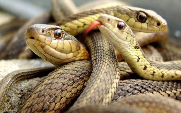 Giải mã giấc mơ thấy 3 con rắn đánh gì trên Vlott88