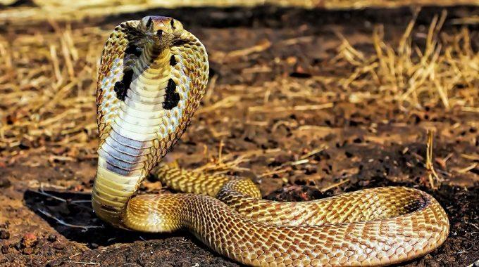 Nằm mơ thấy rắn là điềm tốt hay xấu? Giải mã giấc mơ rắn