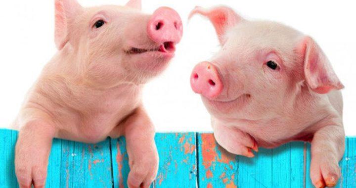 Nằm mơ thấy lợn là điềm báo gì? Giải mã giấc mơ lợn đuổi
