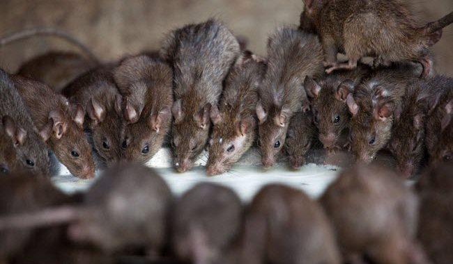 Mơ thấy chuột chạy thành đàn là điềm báo gì? đánh con gì ăn chắc