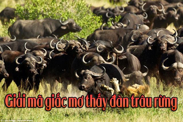Giải mã giấc mơ thấy đàn trâu rừng - Mơ thấy đàn trâu là số mấy
