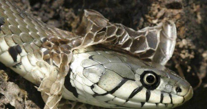 Mơ thấy rắn lột xác là số mấy? Giải mã giấc mơ rắn lột xác