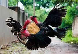 Mơ thấy gà trống, gà chọi đánh nhau là số mấy? Gà đánh nhau là điềm gì?
