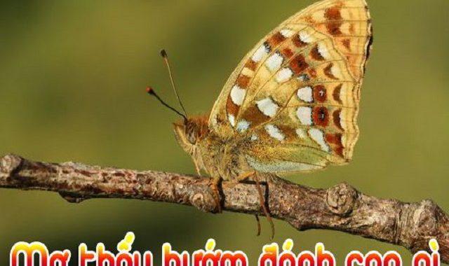 Mơ thấy bướm số mấy? đánh con gì? Nằm mơ thấy bướm là điềm gì?