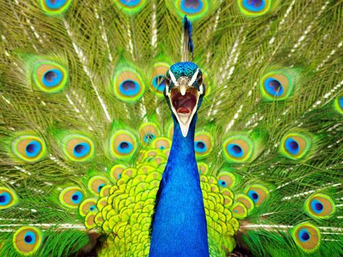 Mơ thấy chim công đánh con gì? số mấy? Nằm mơ thấy chim công là điềm báo gì?