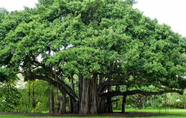 Mơ thấy cây cổ thụ là điềm báo gì? Nằm mơ thấy cây cổ thụ đánh con gì? số mấy?