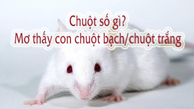 Chuột số gì? Mơ thấy con chuột bạch/chuột trắng