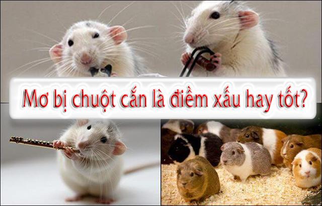 Bị chuột cắn có điềm gì không? Mơ thấy chuột cắn