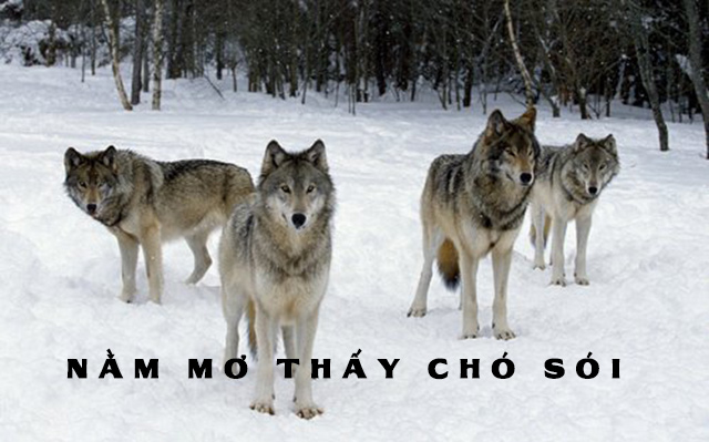 Nằm mơ thấy chó sói có tốt không? Mơ thấy chó sói chết đánh con gì?