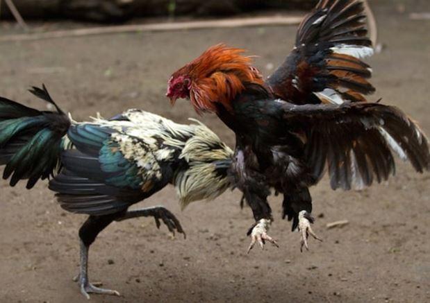 Mơ thấy gà đánh nhau là điềm gì?